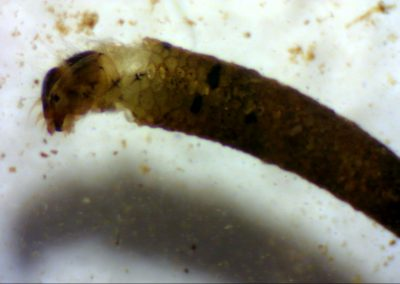 Fig 4. Cased caddis fly larvae. The case is made from tiny stones woven together from silk